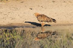 Eagle, Tawny - Wild Birds from Africa - Reflection of Color and Pride Stock Photography