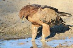 Eagle, Tawny woda jest Rzadki - Dzicy ptaki od Afryka - Fotografia Stock