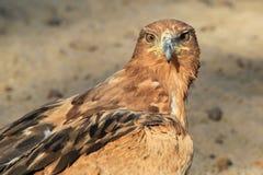 Eagle, Tawny Złoty oko władza - Dzicy ptaki od Afryka - Obrazy Royalty Free