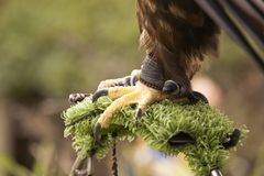 Eagle Tether Royalty Free Stock Image