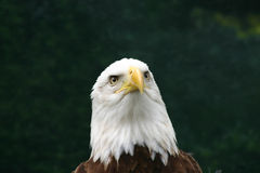 Eagle Thoughts. Head on shot of a bald eagle stock photo