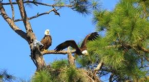 Eagle tijdens de vlucht  Stock Foto's