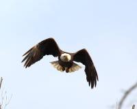 Eagle tijdens de vlucht Stock Afbeeldingen