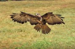 Eagle tijdens de vlucht alvorens te landen royalty-vrije stock afbeelding