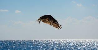 Eagle tijdens de vlucht over het overzees Stock Foto's