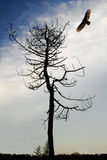 Eagle and Tree. In winter, an eagle looking for prey by a tree stock image