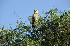 Eagle on a tree Royalty Free Stock Photo
