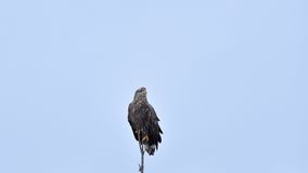 Eagle on a tree, blue sky in the background. Stock Photo