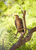 Eagle on a tree branch Stock Photography
