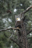 Eagle in tree. Royalty Free Stock Photography