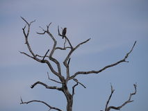 Eagle on tree in Zambia. Eagle species on tree in South Luangwa National Park, Zambia Royalty Free Stock Image