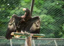 Eagle in the trees Royalty Free Stock Photography