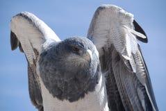 Eagle treft voor vlucht voorbereidingen Stock Foto's
