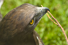 Eagle with twig in mouth Royalty Free Stock Photography
