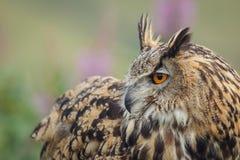 Eagle uggla över skuldrablicken Arkivfoton