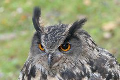 Eagle - uggla royaltyfria bilder