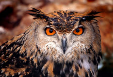 Eagle uggla royaltyfria foton