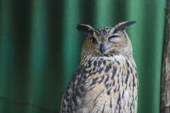 Eagle-uggla Arkivfoto