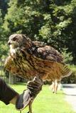 Eagle uggla och hand Royaltyfria Foton