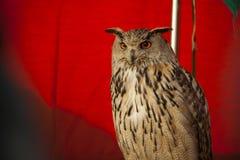 Eagle uggla som ser för att bekläda Royaltyfri Bild