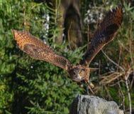 Eagle uggla som tar flyg royaltyfri bild