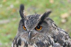 Eagle - uil royalty-vrije stock afbeeldingen