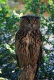 Eagle-uil (Bubo-bubo) royalty-vrije stock afbeelding