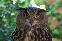 Eagle-uil (Bubo-bubo) royalty-vrije stock fotografie