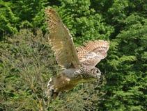 Eagle-uil die [Bubo-bubo] vliegen stock foto