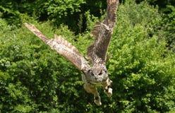 Eagle-uil die [Bubo-bubo] vliegen stock foto's