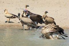 Eagle und die Geier - afrikanische Greifvögel - Lizenzfreie Stockbilder
