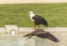 Eagle und Falke Lizenzfreie Stockfotos