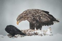 Eagle und Rabe Stockfotografie
