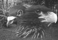Eagle und Tauben-schöne Kunst Lizenzfreie Stockfotos