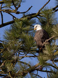 Eagle up in a tree. Stock Image