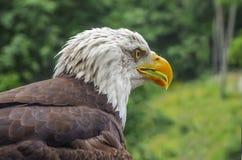 Eagle up zakończenie Obraz Royalty Free