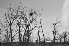 Eagle-Verschachtelung im Baum silhouettiert gegen den Himmel Lizenzfreie Stockfotografie