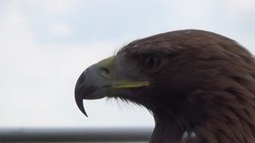 Eagle. The video shows the eagle, which is located in Nitra castle. Golden Eagle (lat. Aquila chrysaetos) is a predator of the hawk family. It is among the stock footage