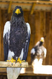 Eagle vision Stock Photography