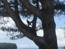 The eagle sitting at the pine on the beach near city stock photo