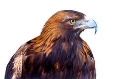 Eagle vitbakgrund Royaltyfri Bild