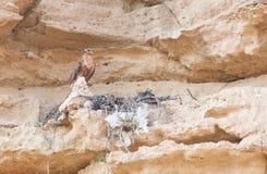 Eagle-Vogel, der auf dem Nest sitzt Stockfotografie