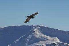 Eagle volant au-dessus de hautes montagnes Image stock