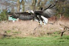 Eagle in volo Fotografie Stock Libere da Diritti