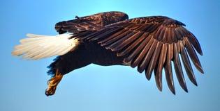 Eagle in volo immagine stock