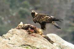 Eagle vrai Image stock