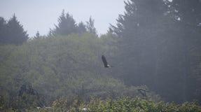 Eagle w locie z lasowym tłem Obrazy Stock
