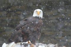 Eagle w śniegu Zdjęcie Royalty Free