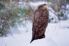 Eagle w zimie Zdjęcie Royalty Free