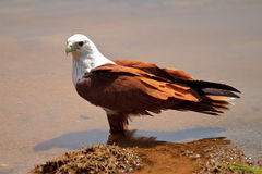 Eagle wading in water. A brahmimi kite wading on a lakebed facing left royalty free stock photos